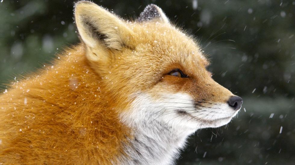 S36 Ep2: Fox Tales image