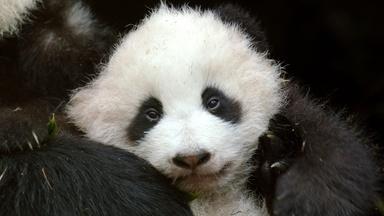 Pandas: Born to be Wild