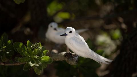 Islands of Wonder -- The Return of the White Tern