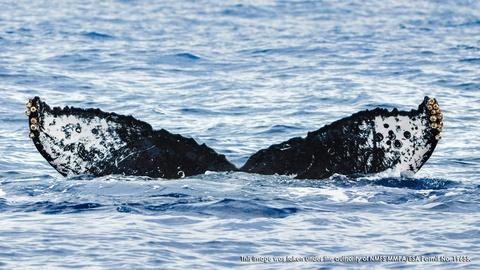Changing Seas -- Mystery of the Humpback Whale Song
