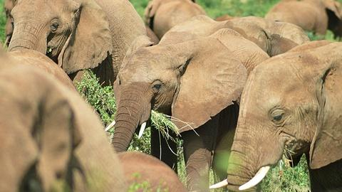 Nature's Great Race -- Elephants Gorge Themselves on Weaver Birds