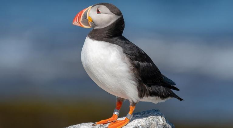 Maine Public News: National Audubon Society's Project Puffin