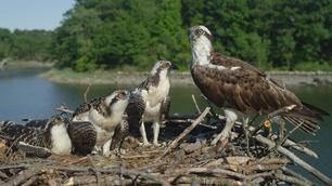 Video thumbnail: Nature Season of the Osprey