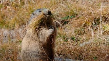 Secrets of Marmot Hibernation