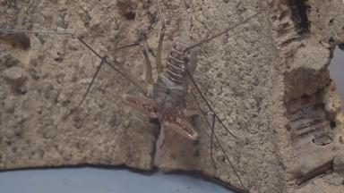 TAILLESS WHIP SCORPION - English Captions