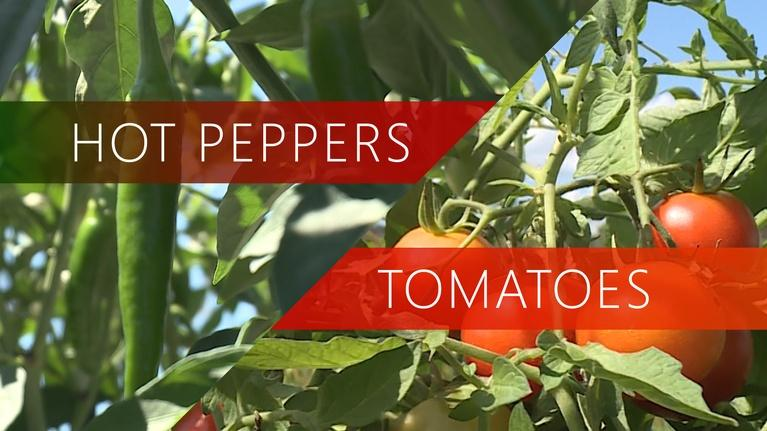 The Local Feed: Hot Peppers | Tomatoes