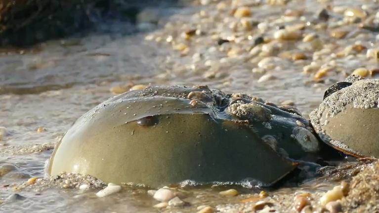 SCI NC: How horseshoe crabs save lives