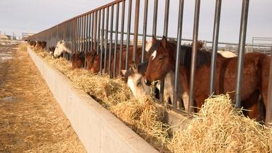 Wild Horses vs Ranchers