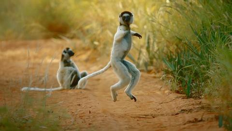 Nature -- Why Do Sifakas Pogo?