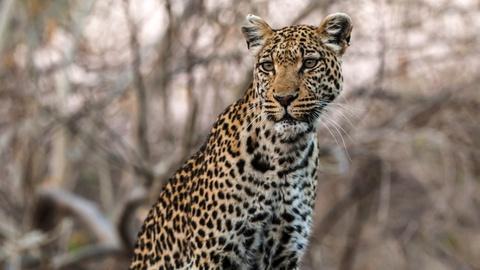 Nature -- Mama Leopard Uses Sausage Tree to Hunt