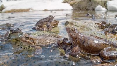 Nature | Annual Alpine Frog Orgy