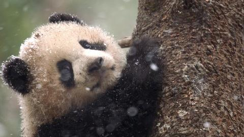 Nature -- Preview of Pandas: Born to be Wild