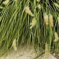 10 Grasses for Prairie-Style Gardens